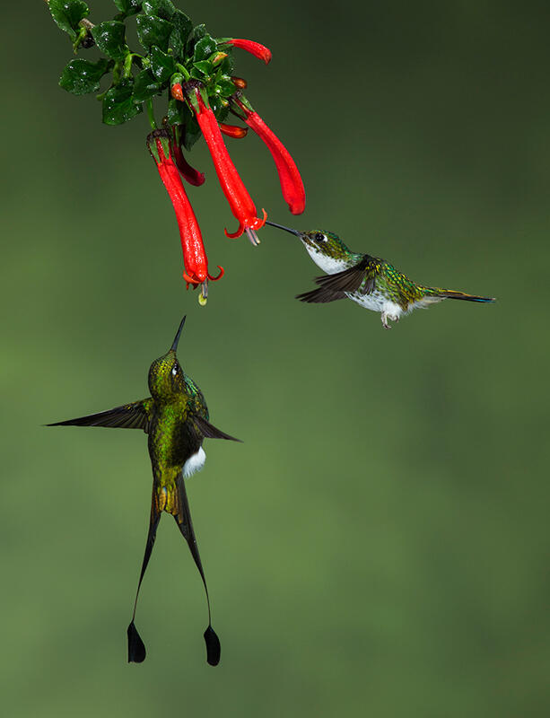 Booted Racket-tail/Amateur Category. Amy Marques/Audubon Photography Awards
