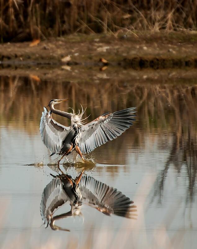 Great Blue Heron/Amateur Category. Andrea Poland/Audubon Photography Awards