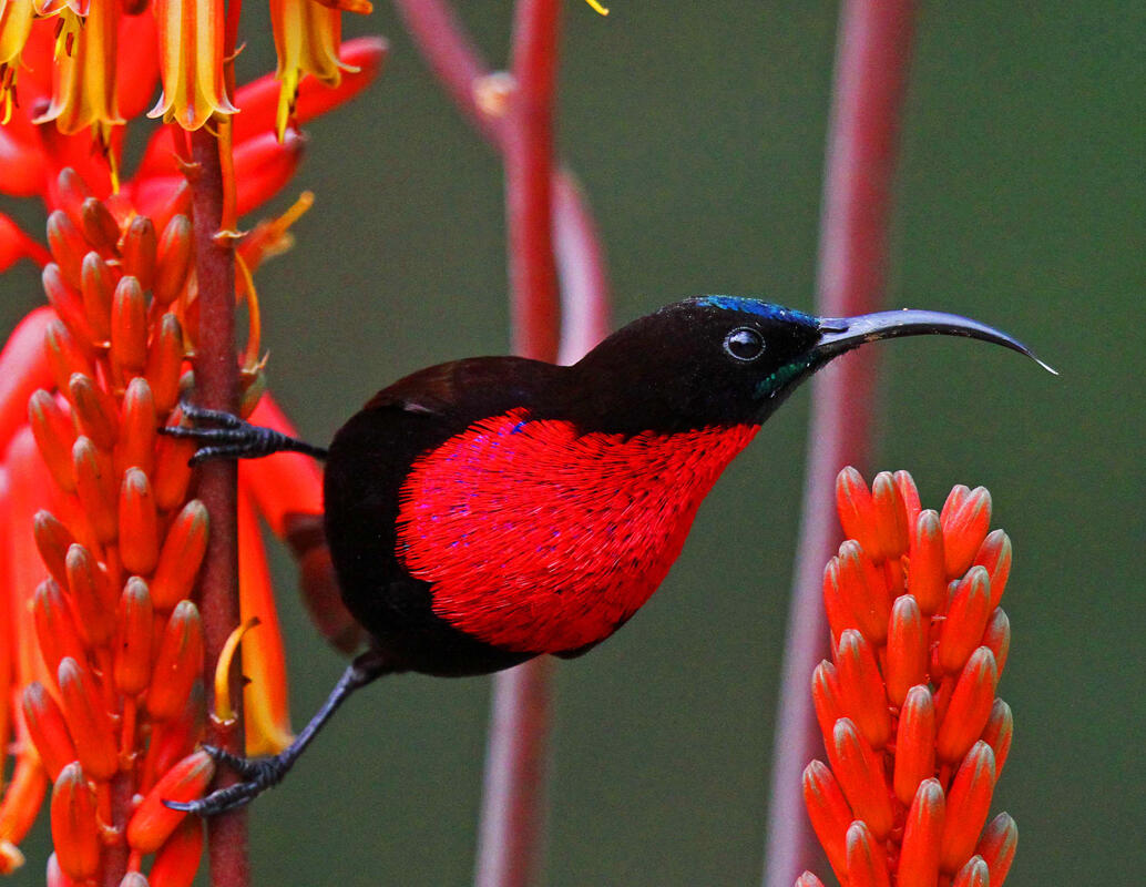 Scarlet-chested Sunbird/Amateur Category. Anthony Goldman/Audubon Photography Awards