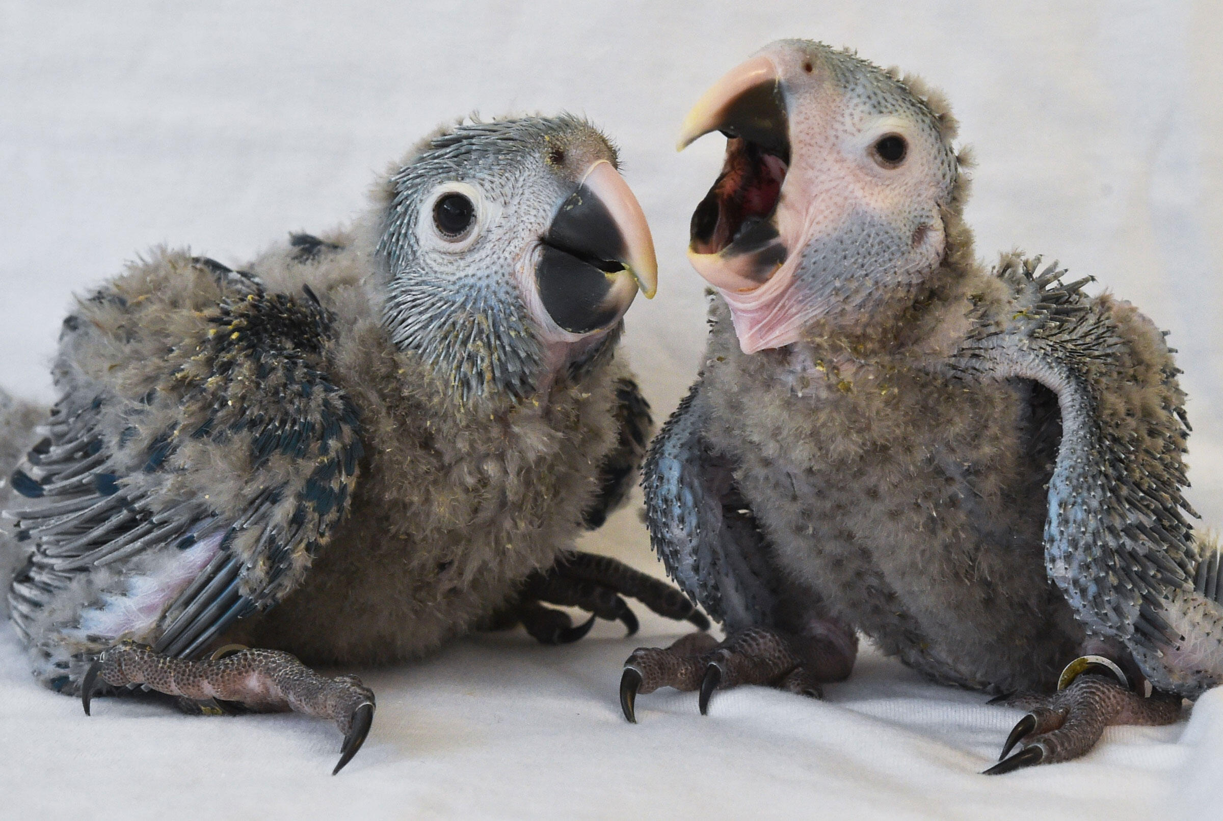 """Two Spix's Macaw chicks at ACTP in April, 2014. The species is slowly gaining celebrity outside of the bird world: It played the main role in last year's animated film """"Rio 2."""" Patrick Pleul/picture-alliance/dpa/AP Images"""