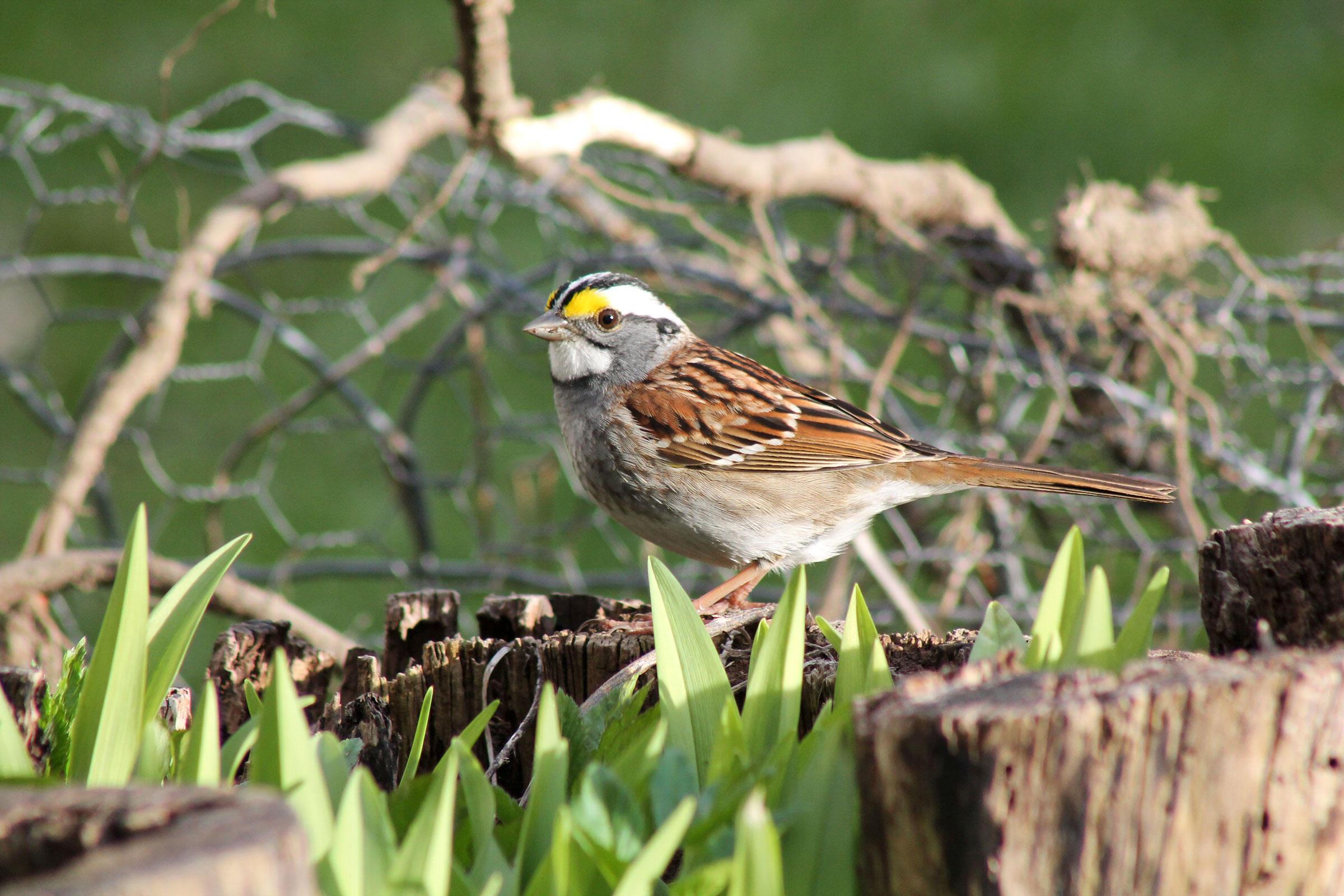 White-throated Sparrow. Aspen Allen/Audubon Photography Awards