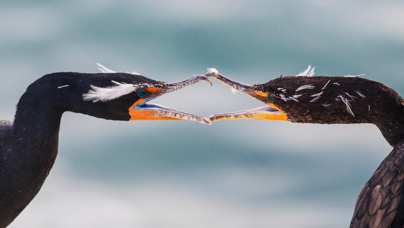 Double-crested Cormorant/Amateur Category. Ben Knoot/Audubon Photography Awards