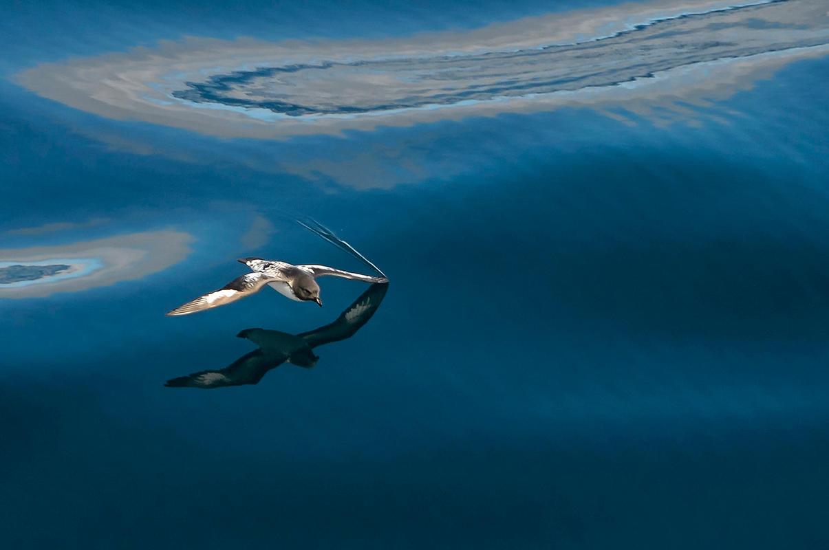 Cape Petrel/Amateur Category. Bill Klipp/Audubon Photography Awards
