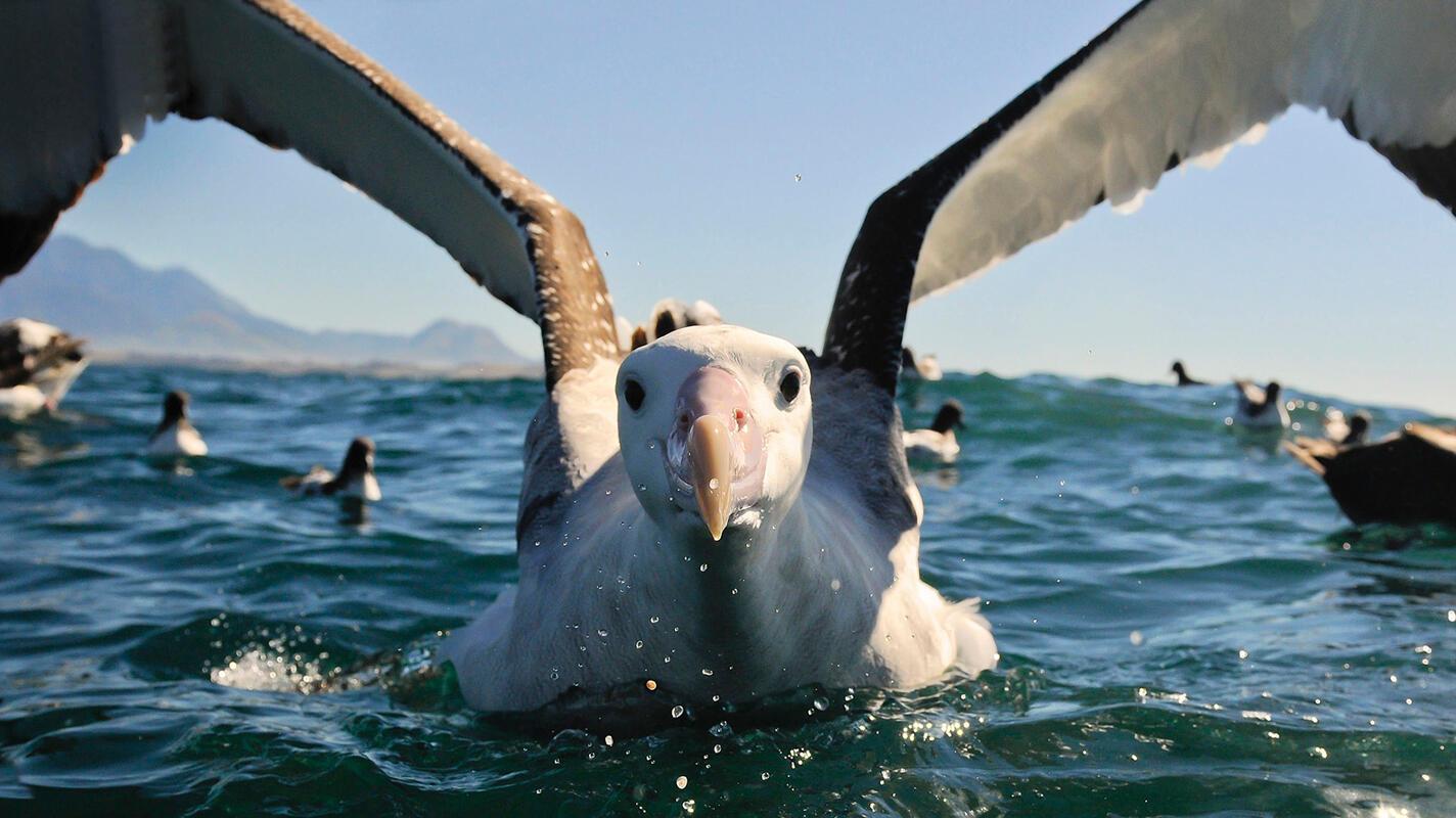 Wandering Albatross/Amateur Category. Bill Klipp/Audubon Photography Awards