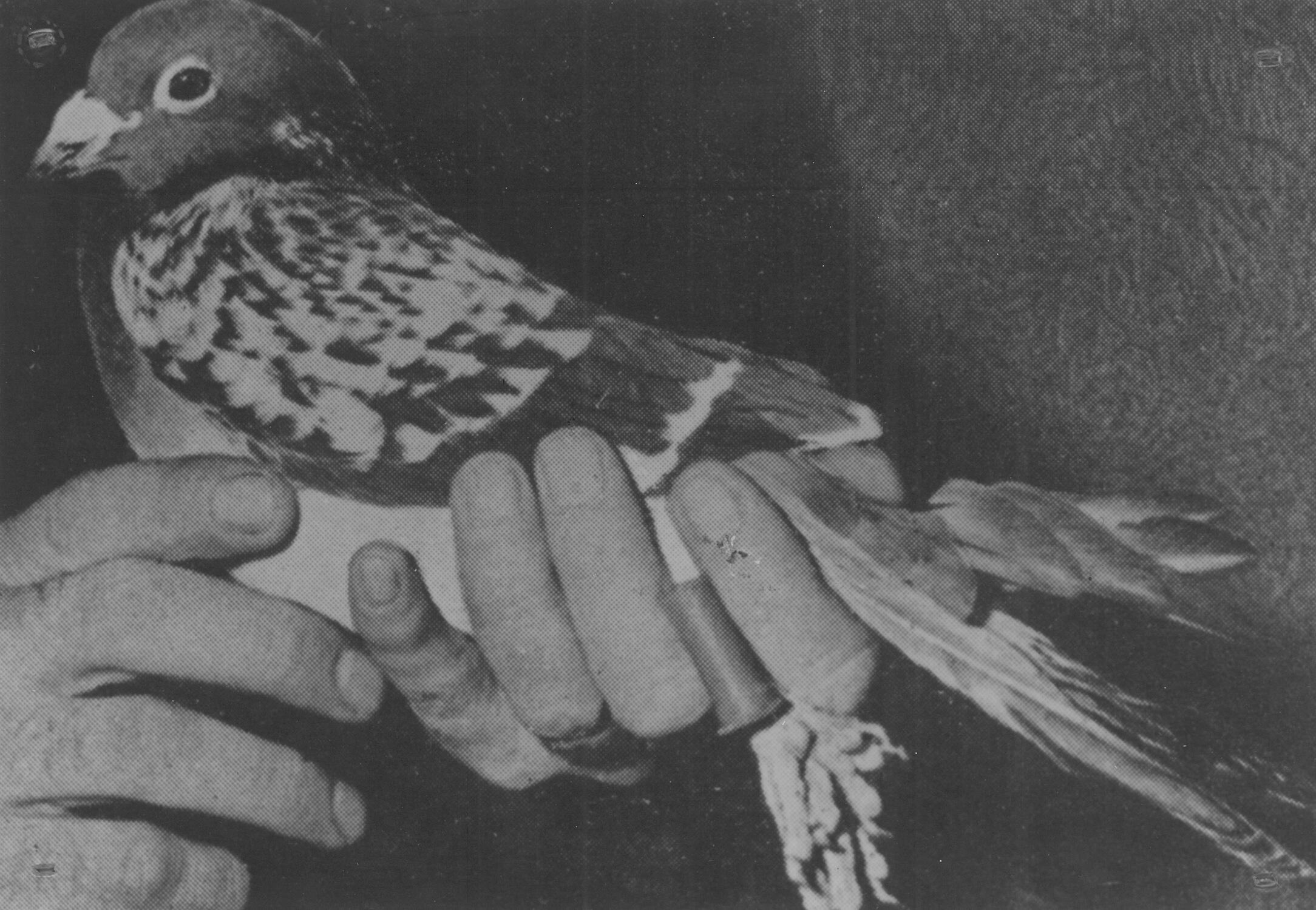 The pigeon pictured here, named Beachcomer, was given the Dickin medal for capturing the first evidence showing the Allies' failure in taking the German-occupied Dieppe port in September 1942. AR/BNPS