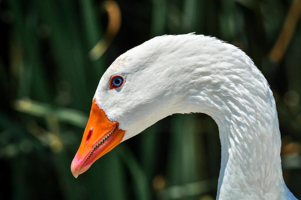 Domestic Goose/Amateur Category. Bradley Lewis/Audubon Photography Awards