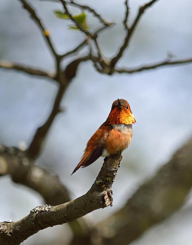 Rufous Hummingbird/Amateur Category. Breanna Wilson/Audubon Photography Awards