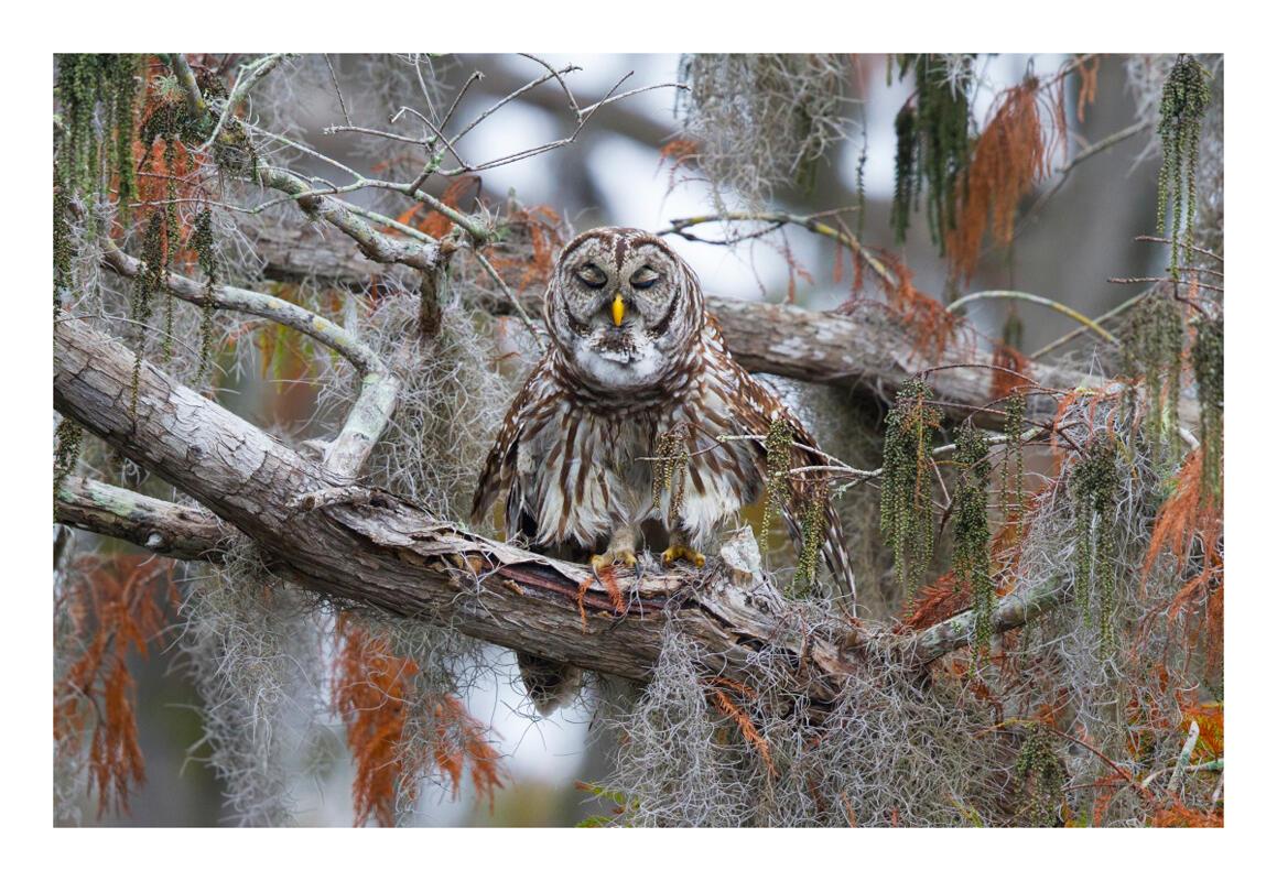 Barred Owl/Amateur Category. Brenda Stevens/Audubon Photography Awards