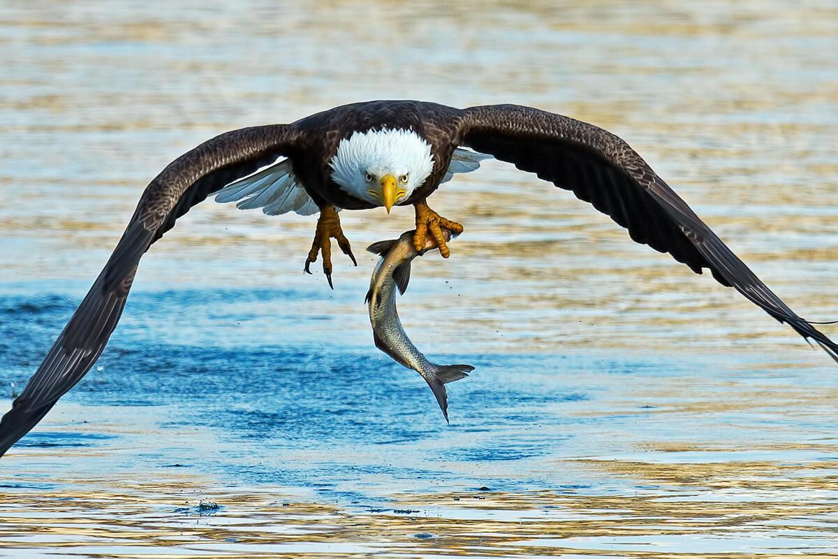 Bald Eagle/Amateur Category. Brian Kushner/Audubon Photography Awards