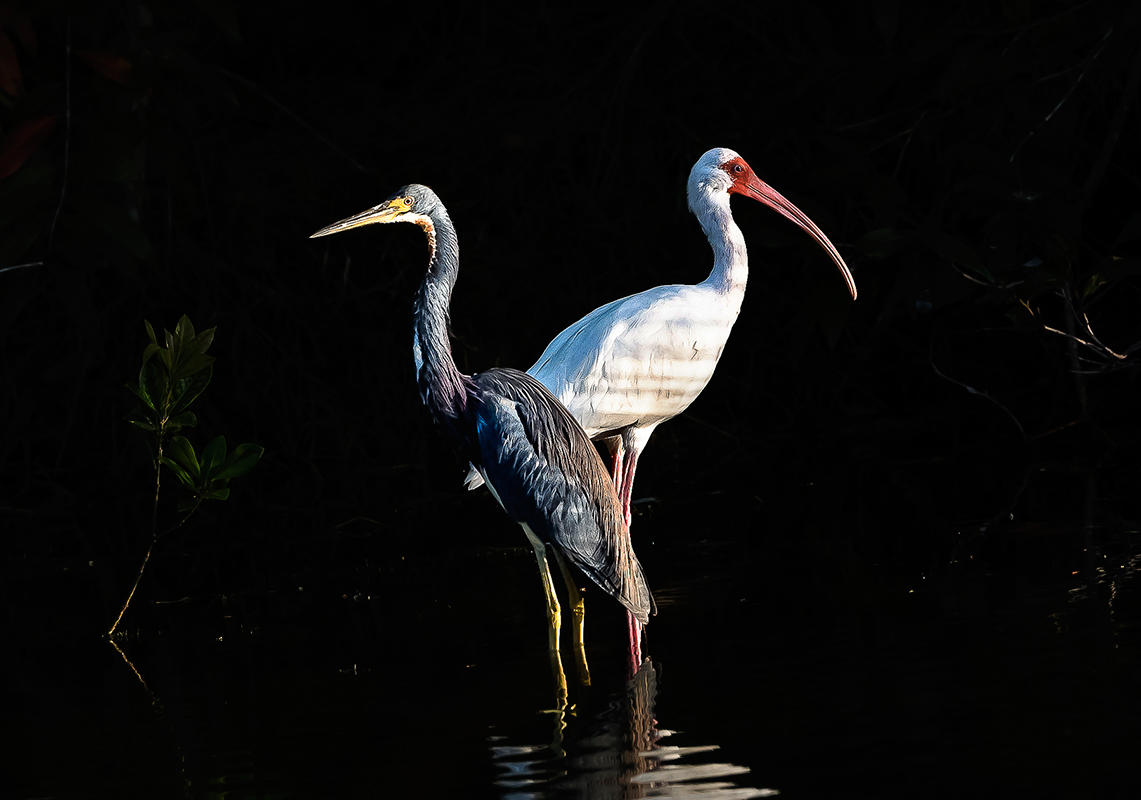 Tricolored Heron and White Ibis/Amateur Category. Brian Rivera Jr/Audubon Photography Awards