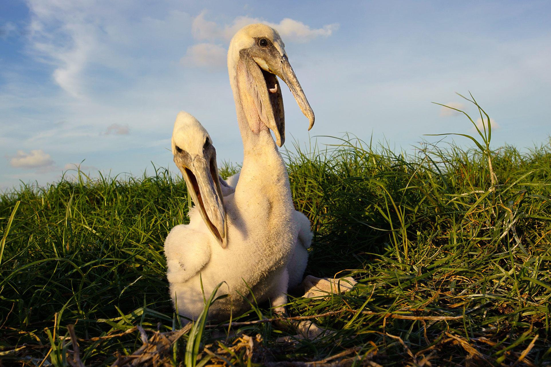 Brown Pelicans. Gerrit Vyn