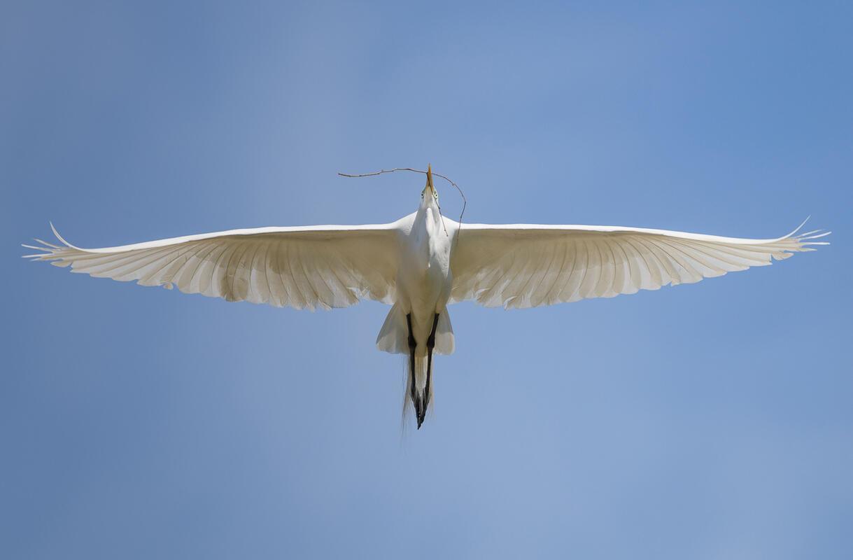 Great Egret/Amateur Category. Bruno Struck/Audubon Photography Awards