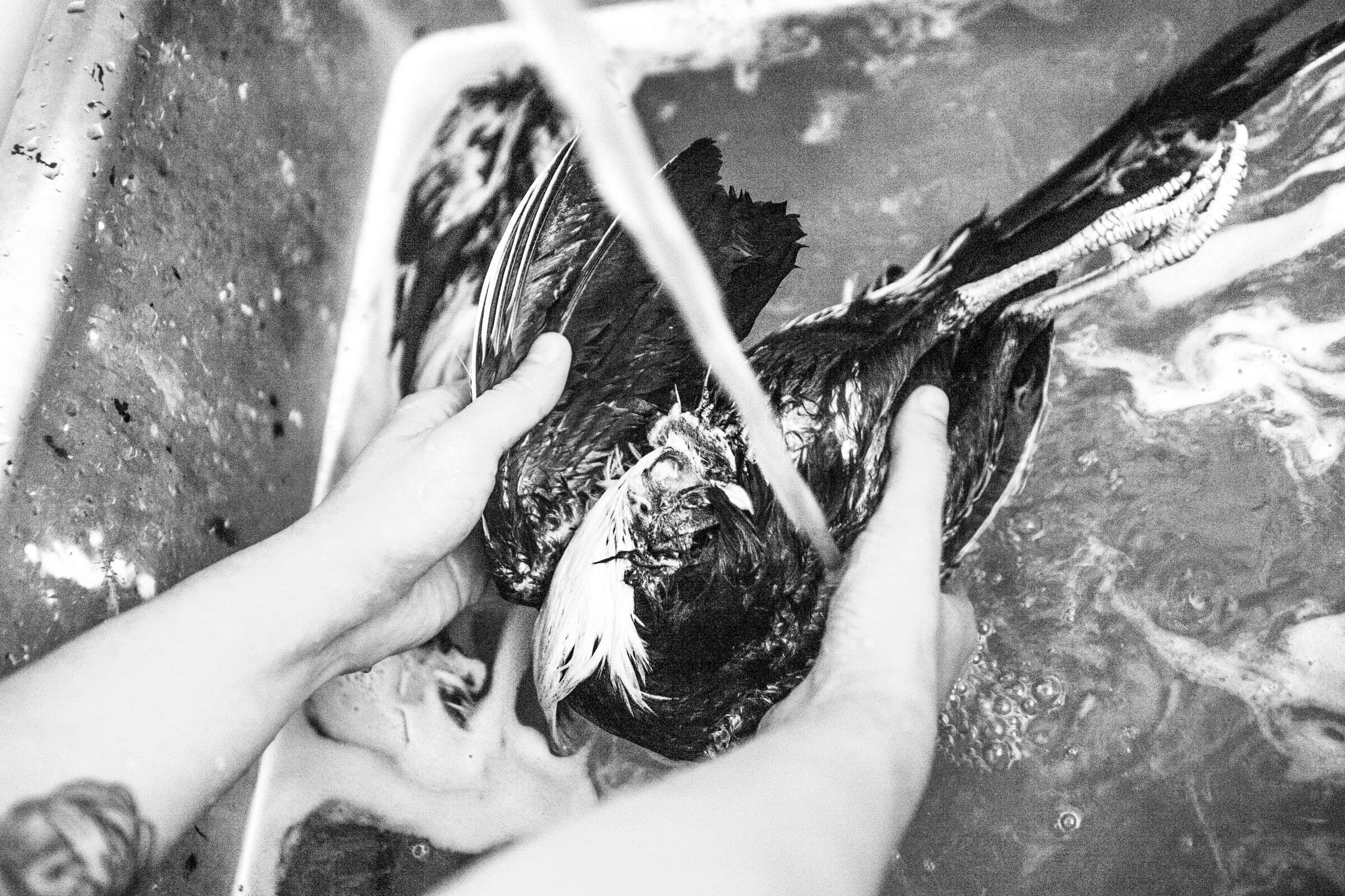Katie rinses a Bantam rooster's stiff carcass under warm water in a utility sink at the Morbid Anatomy Museum in Brooklyn, New York. Camilla Cerea/Audubon