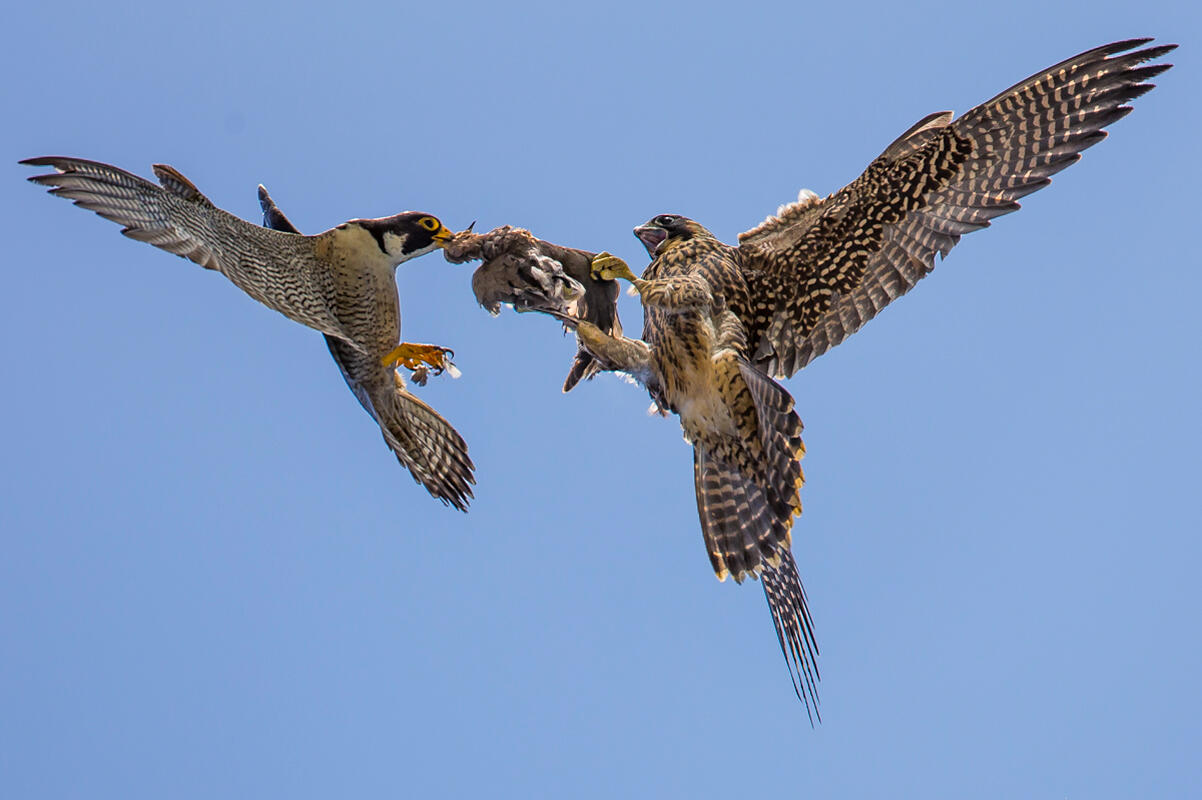 Peregrine Falcon/Amateur Category. Carl Woo/Audubon Photography Awards