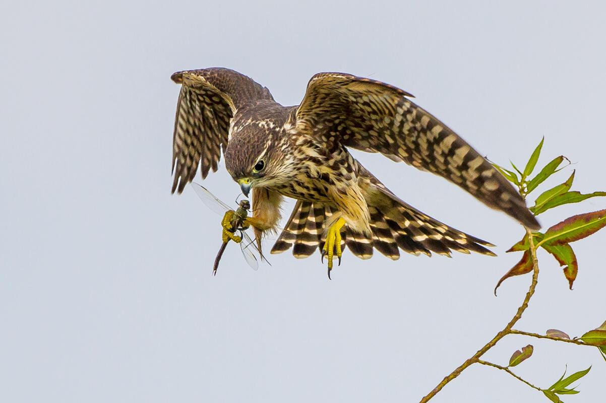 Merlin/Amateur Category. Carl Woo/Audubon Photography Awards