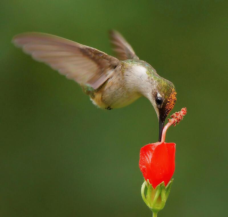 Female Ruby-throated Hummingbird/Amateur Category. Carmen Elia/Audubon Photography Awards
