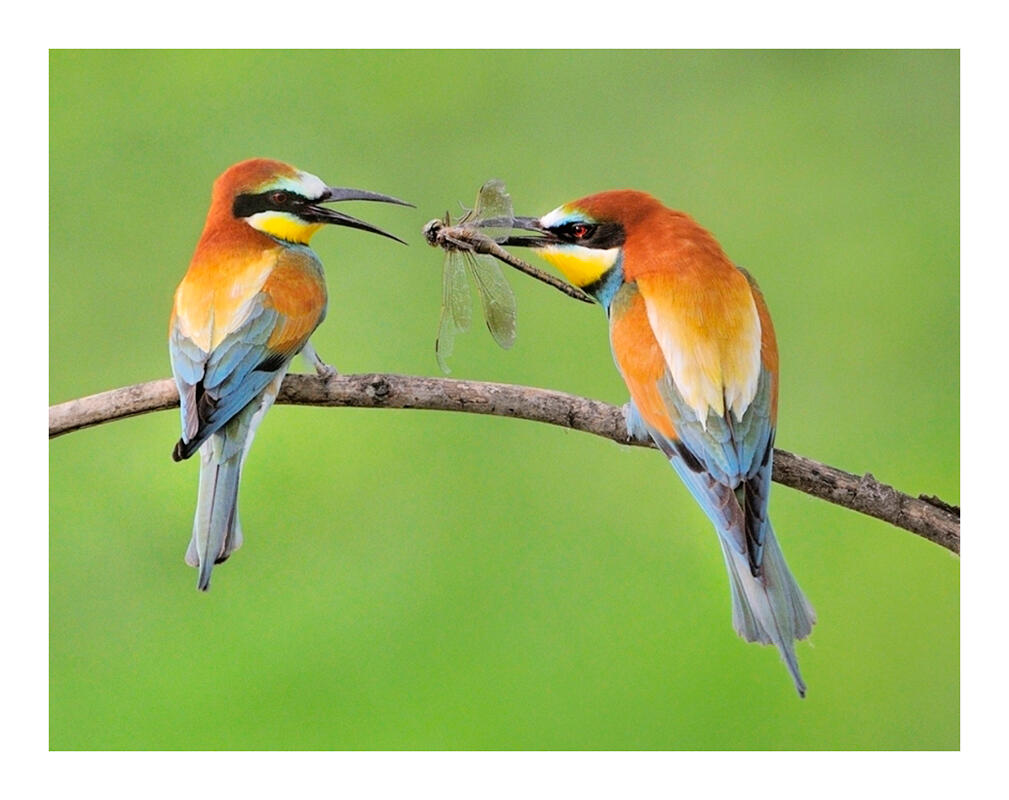 European Bee-eater/Amateur Category. Mike Anderson/Audubon Photography Awards