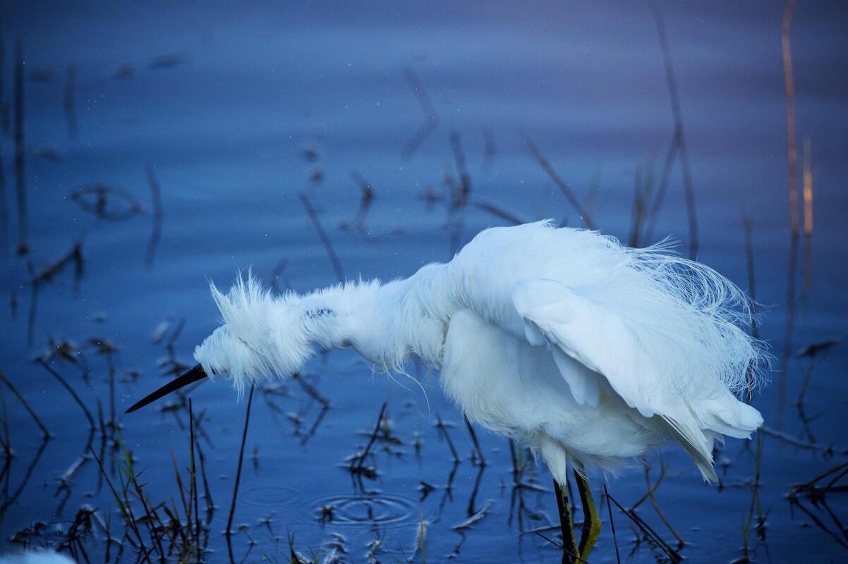 Snowy Egret/Amateur Category. Charles Waitwait/Audubon Photography Awards