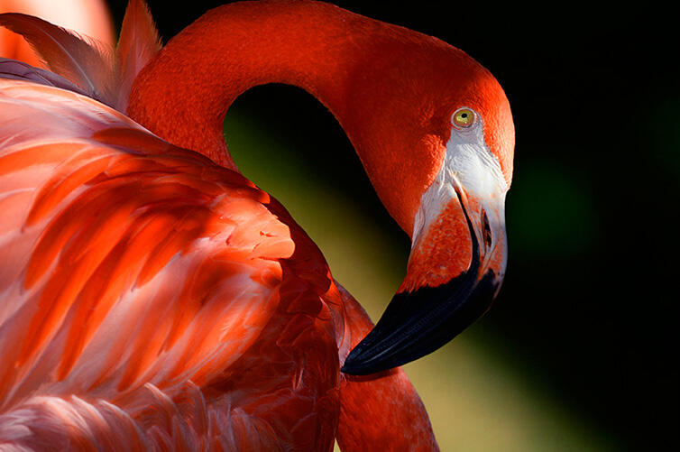 American Flamingo/Amateur Category. Chris Heisey/Audubon Photography Awards