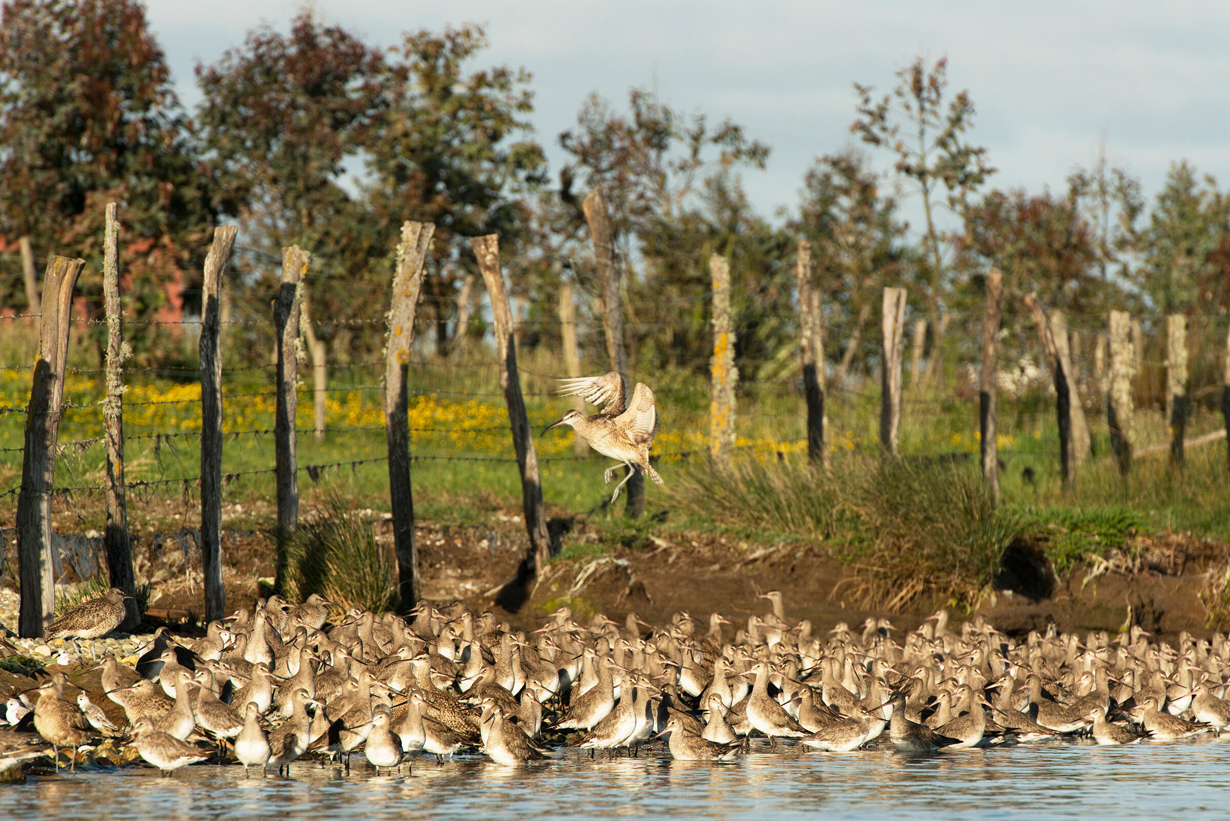 Godwits, Whimbrels, and Sanderlings. Chris Linder/iLCP