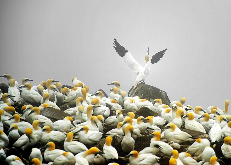 Northern Gannet/Amateur Category. Claudio Bacinello/Audubon Photography Awards