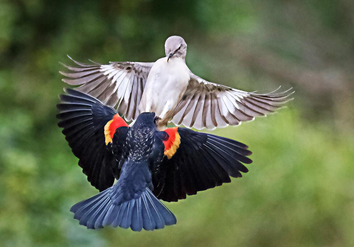 Red-winged Blackbird and Northern Mockingbird/Amateur Category. Darrell Crisp/Audubon Photography Awards