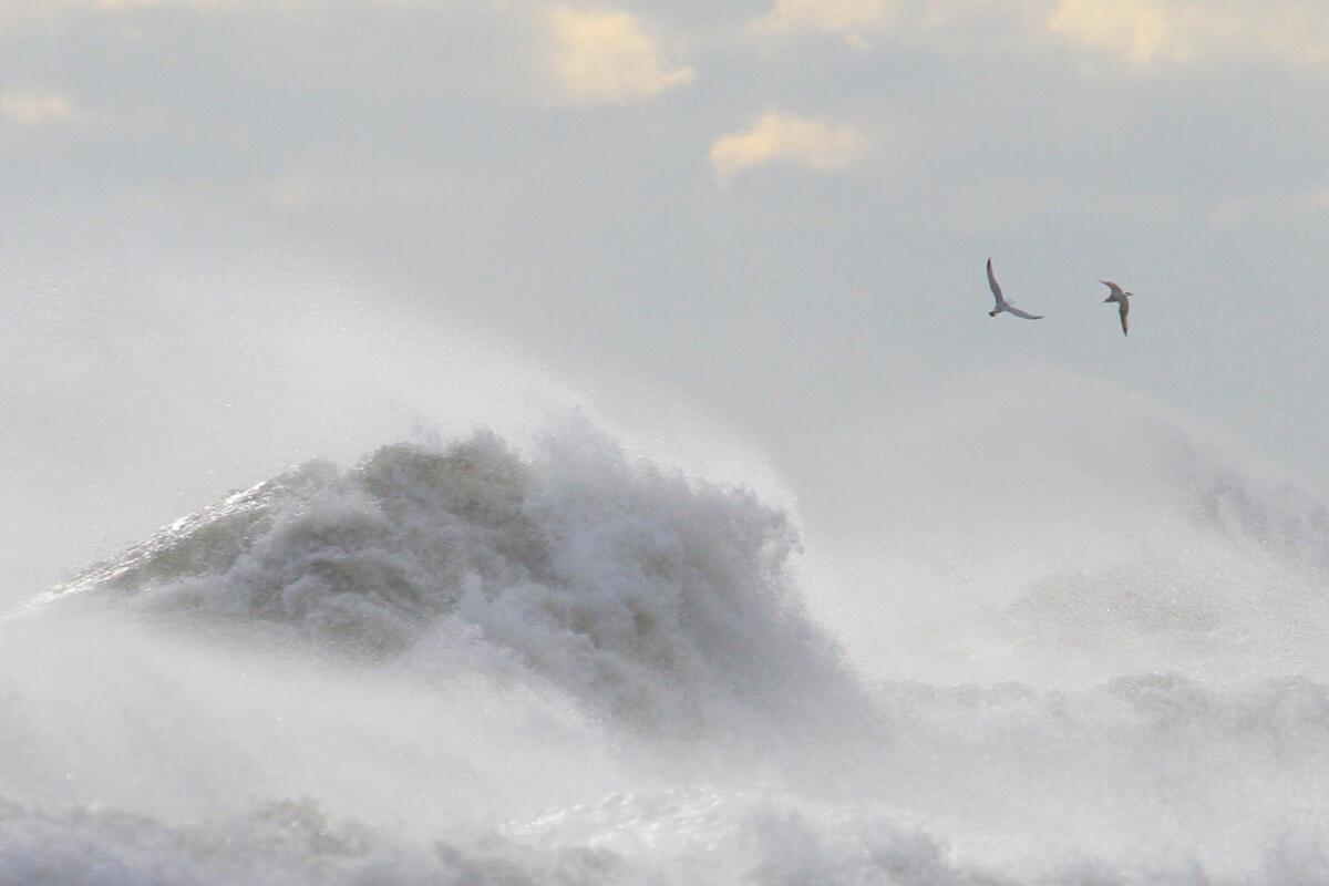 Great Black-backed Gull/Amateur Category. David Policansky/Audubon Photography Awards