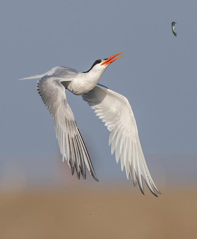 Elegant Tern/Amateur Category. David Salem/Audubon Photography Awards
