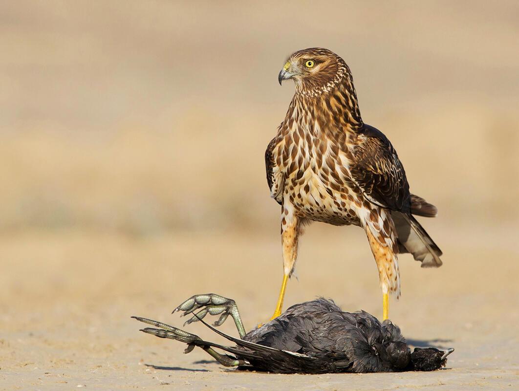Northern Harrier and American Coot/Amateur Category. David Salem/Audubon Photography Awards