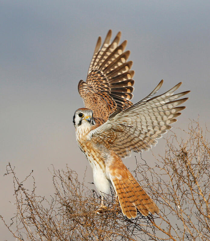American Kestrel/Amateur Category. David Salem/Audubon Photography Awards