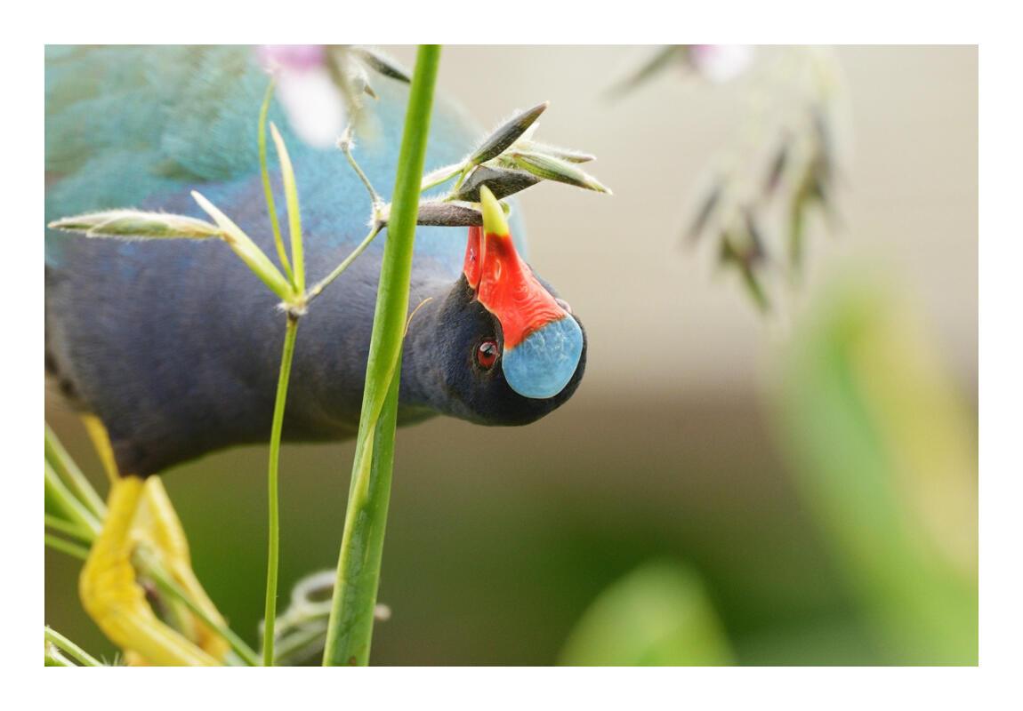 Purple Gallinule/Amateur Category. Dennis Derby/Audubon Photography Awards