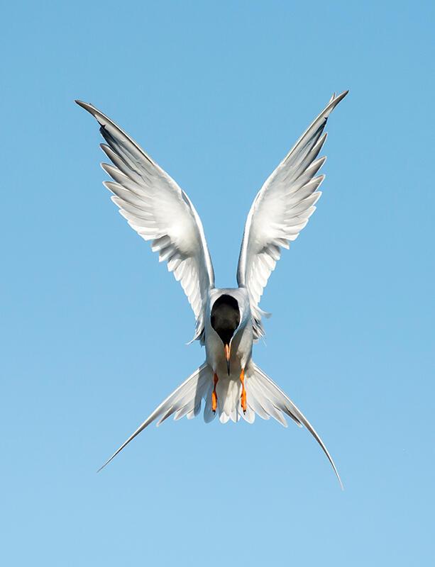 Forster's Tern/Amateur Category. Diana Rebman/Audubon Photography Awards