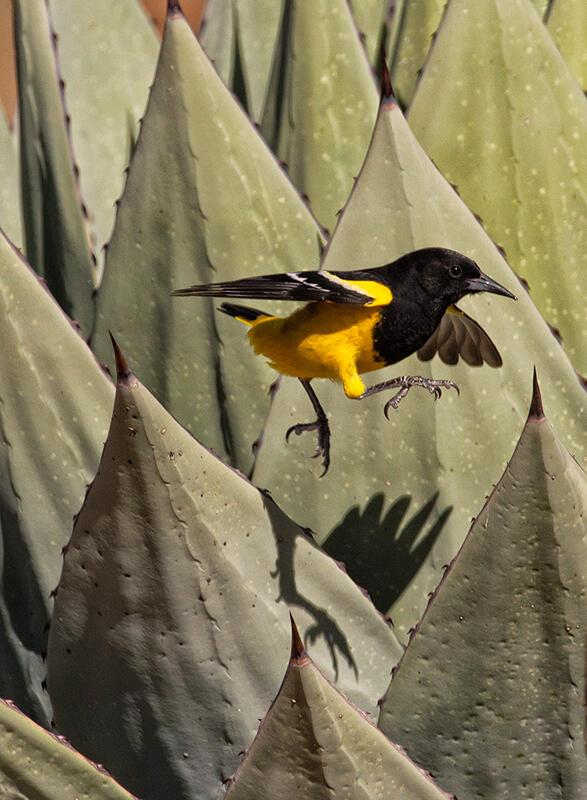 Scott's Oriole/Amateur Category. Donald Wuori/Audubon Photography Awards