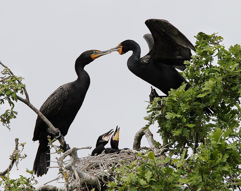 Double-crested Cormorant/Professional Category. Don Jackson/Audubon Photography Awards