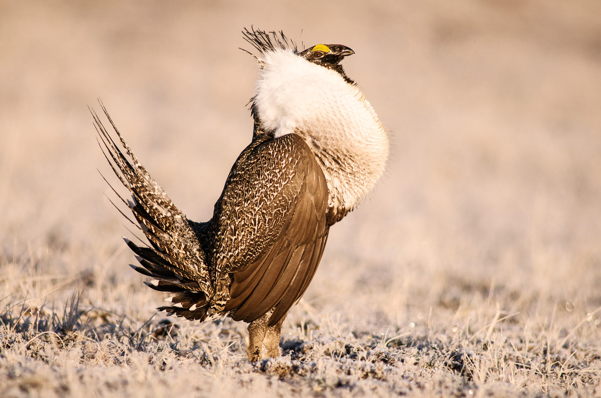 A Greater Sage-grouse male displays for the attention of females on a frosty lek. Pinedale, Wyoming. Dave Showalter