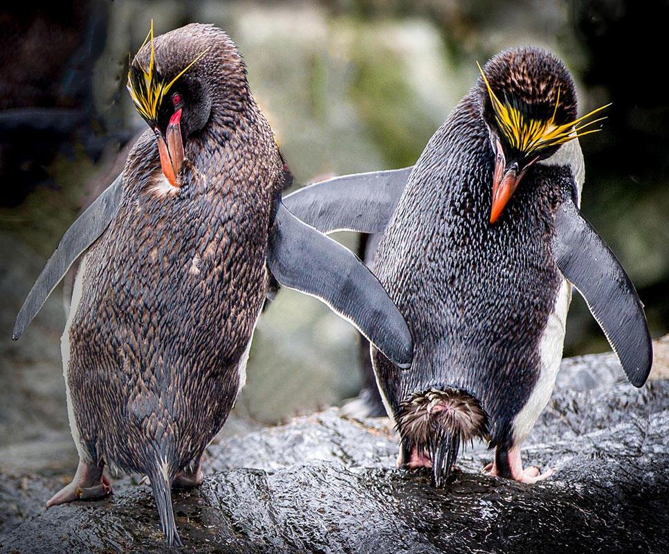 Macaroni Penguin/Amateur Category. Evan Siegel/Audubon Photography Awards