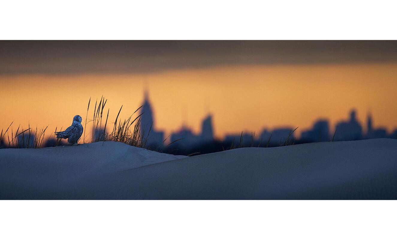 Snowy Owl/Professional Category. Francois Portmann//Audubon Photography Awards