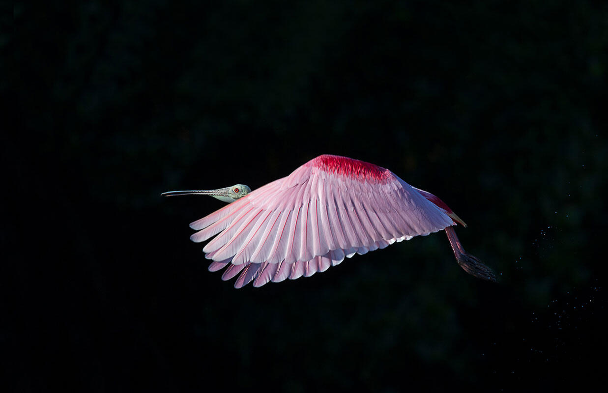 Roseate Spoonbill/Amateur Category. Gail Bisson/Audubon Photography Awards