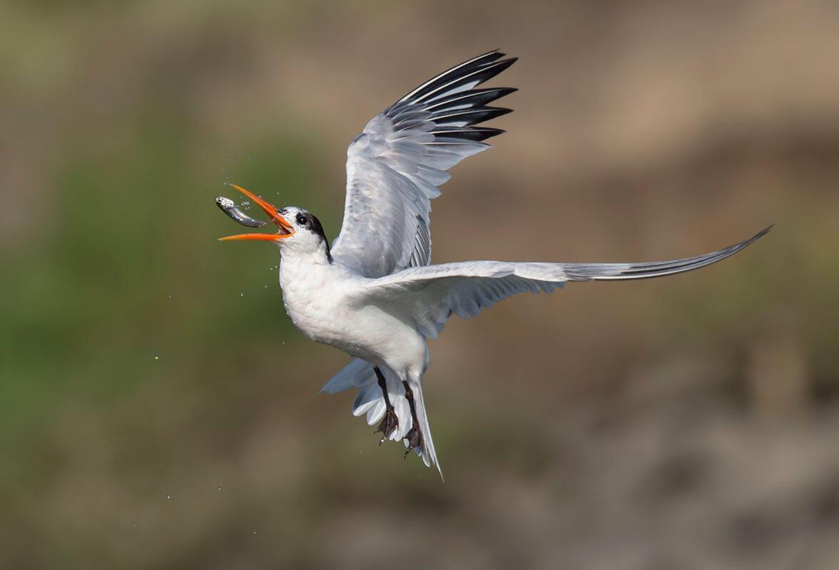 Elegant Tern/Amateur Category. Gail West/Audubon Photography Awards