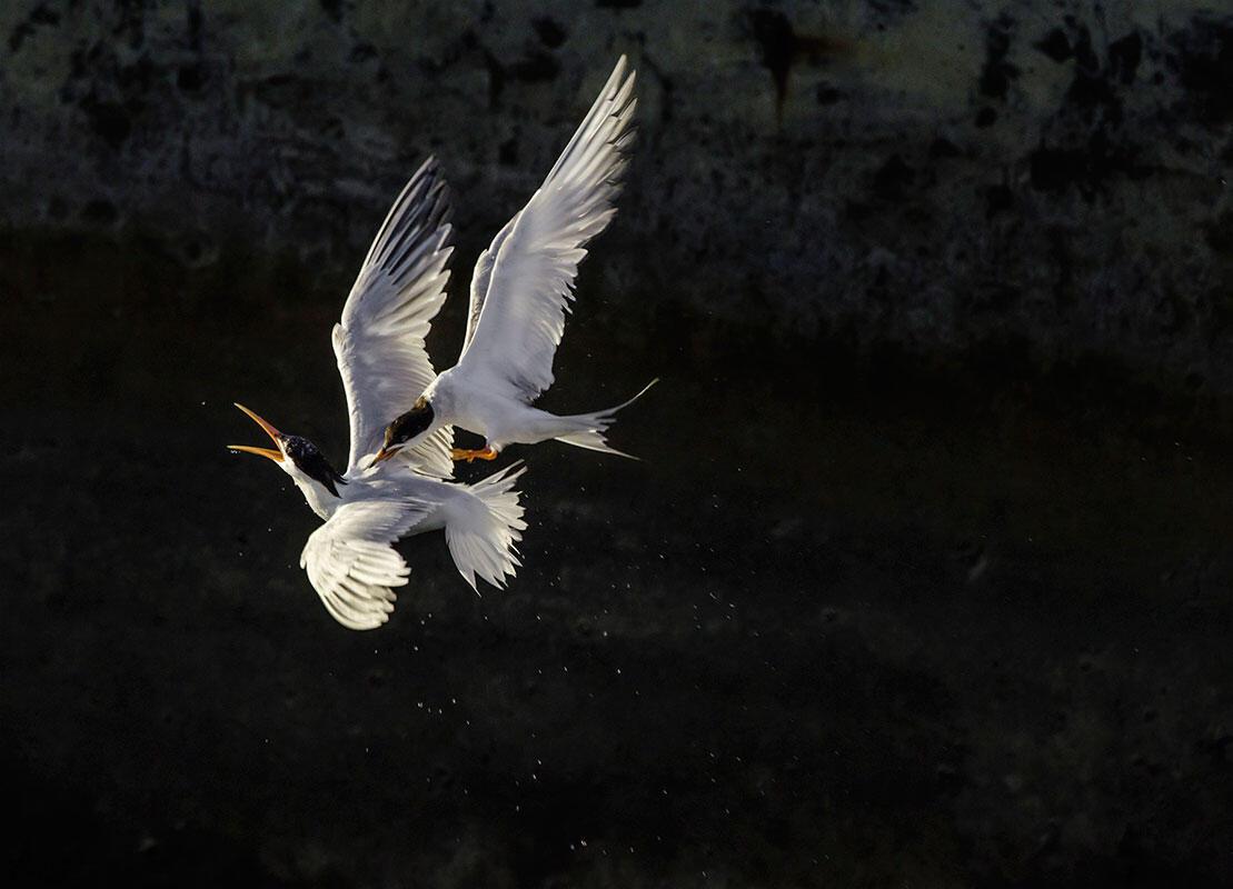 Elegant Tern/Amateur Category. Geralyn Souza/Audubon Photography Awards
