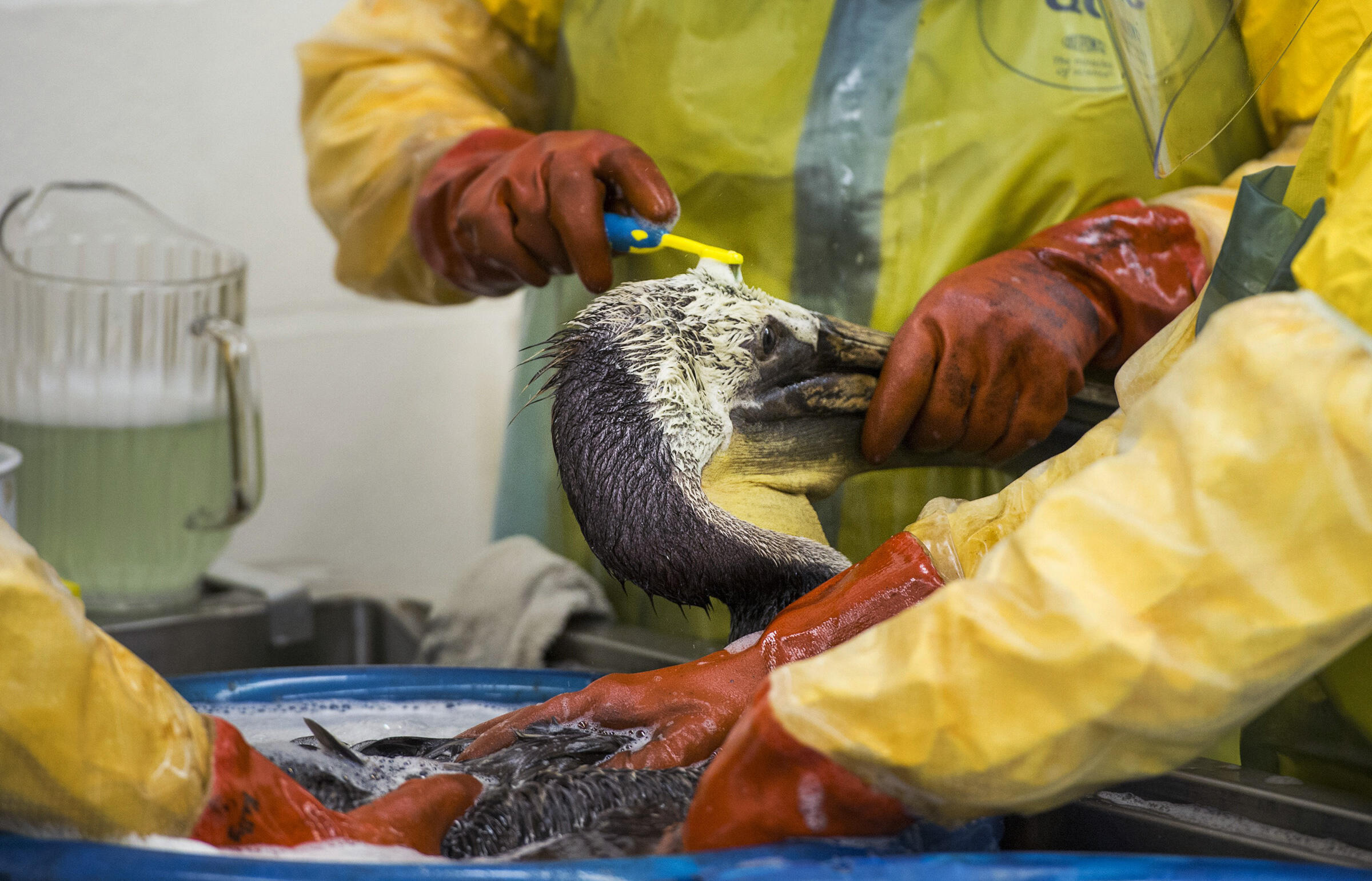 International Bird Rescue volunteers and staff clean an oiled Brown Pelican that was rescued from Refugio State Beach. Robyn Beck/AFP/Getty Images