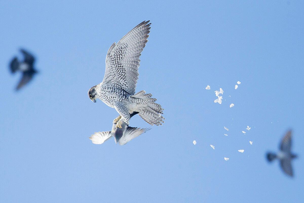 Gyrfalcon and Rock Pigeon/Amateur Category. Harry Colquhoun/Audubon Photography Awards