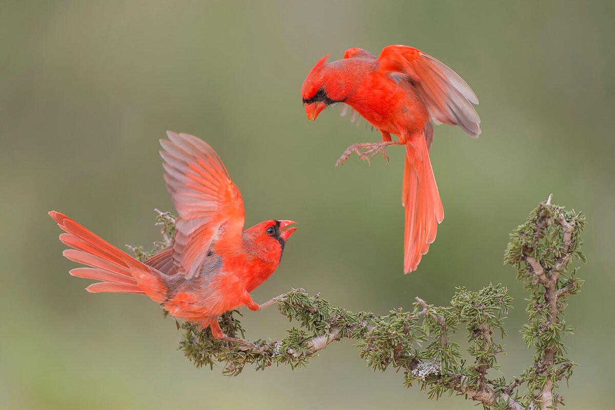 Northern Cardinal/Professional Category. Hector Astorga/Audubon Photography Awards