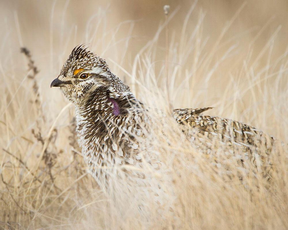 Sharp-tailed Grouse/Amateur Category. J. Arthur Anderson/Audubon Photography Awards