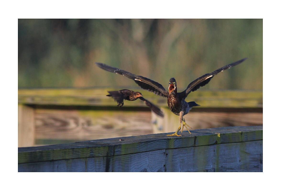 Green Heron and Red-winged Blackbird/Amateur Category. Jeffrey Holmes/Audubon Photography Awards