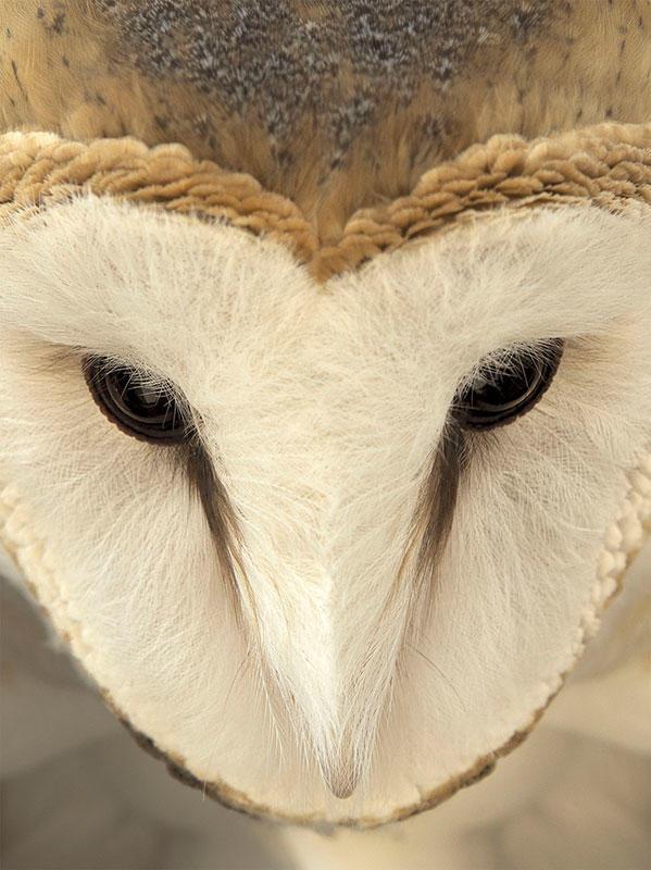 Barn Owl/Fine Art Category. Jennifer Maharry/Audubon Photography Awards