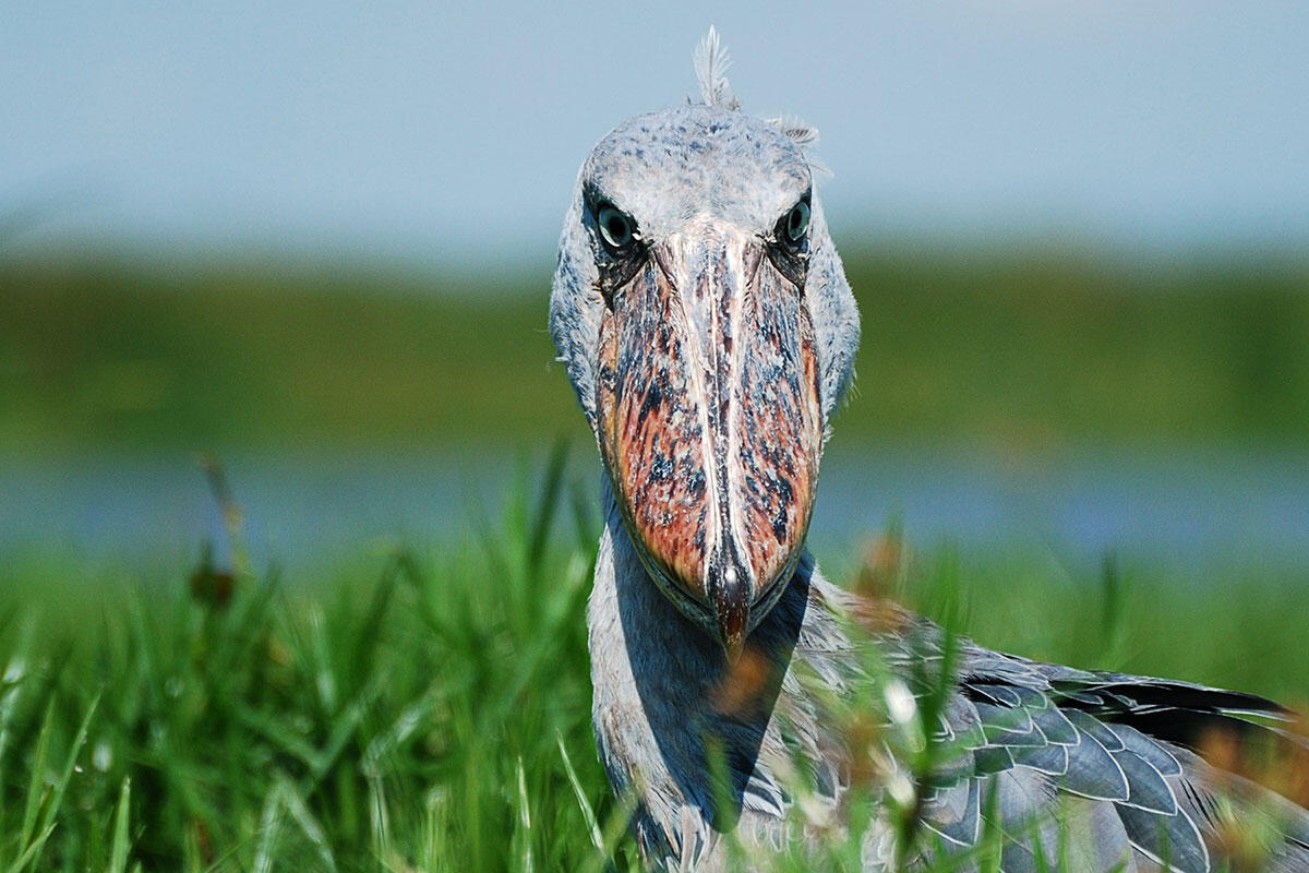 Shoebill/Amateur Category. John Rollins/Audubon Photography Awards