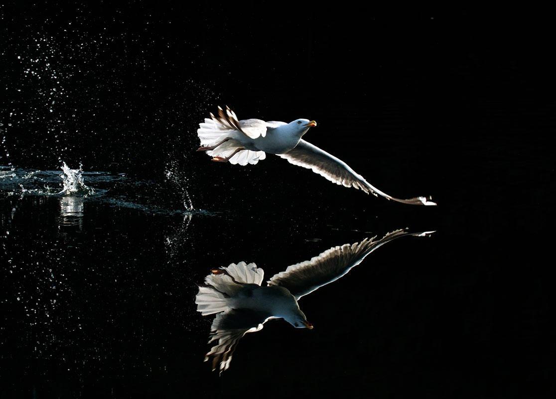 Herring Gull/Amateur Category. Jon D'alessio/Audubon Photography Awards