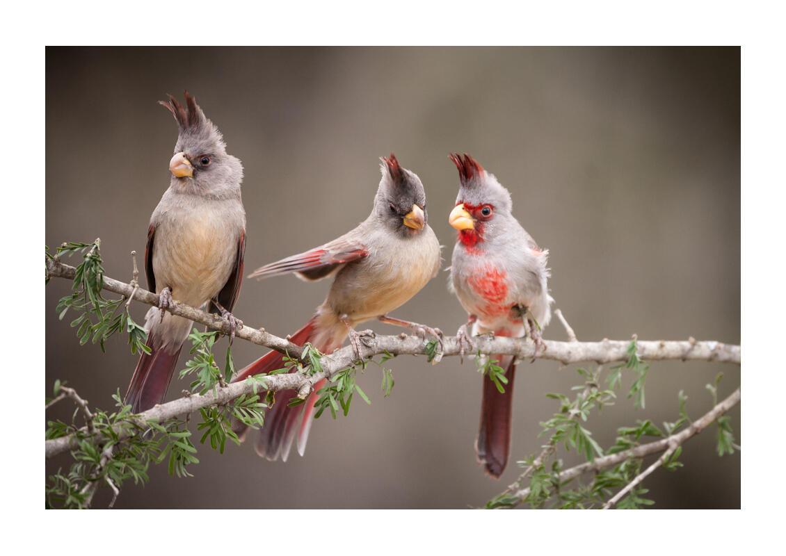 Pyrrhuloxia/Amateur Category. Joseph Messina/Audubon Photography Awards