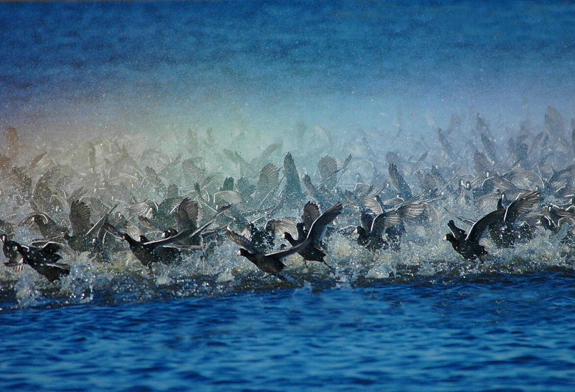 American Coot/Amateur Category. Joyce Stefancic/Audubon Photography Awards